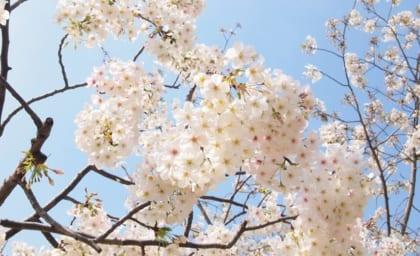 来年も桜の季節にここで会いましょう